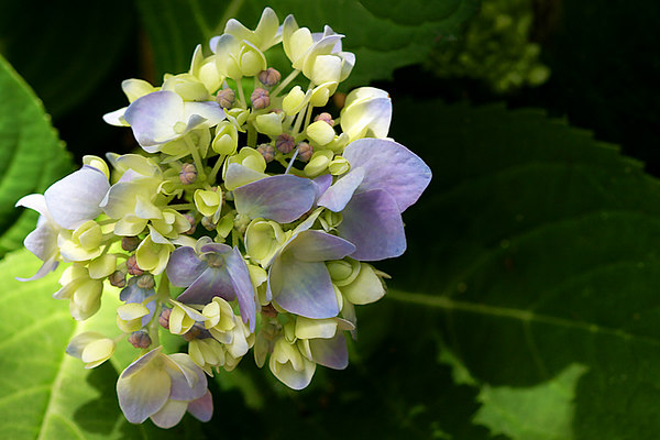Young Blue Hydrangea