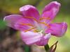 2015 08 24 TX 59W Rain lily breezy opening