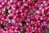 Pink Spirea