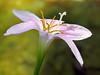 2015 08 24 TX 59W Rain lily