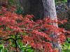 2012 12 01 Flowers MG bright Japanese maple