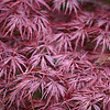 KCTrip 2009 APR Lendonwood Gardens Grove OK Maple Leaves