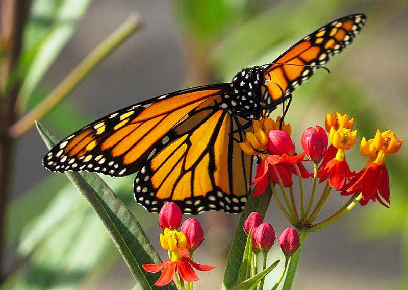 2017 09 OPA Butterfly weed