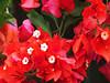 2013 04 21 Flowers PFAS Boganvilla reds