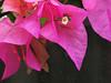 2013 04 21 Flowers PFAS Boganvilla pinks