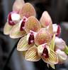 KCTrip 2009 APR Kaufman Orchids 03