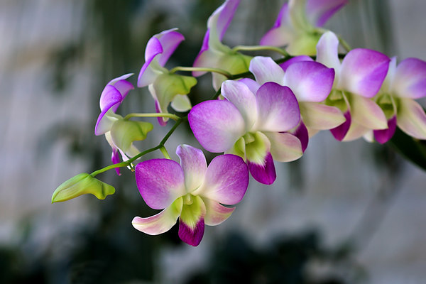 33894880 OrchidSprig