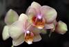 KCTrip 2009 APR Kaufman Orchids 08