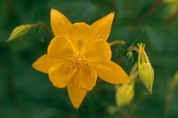 1997/04 Yellow Columbines