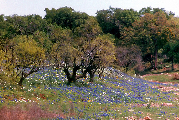 1997/04 Bluebonnets on a rocky hill