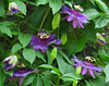 2016 05 31 TW Passion flowers 03