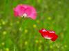 2016 03 01 TW Breezy poppies