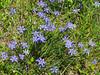 2016 04 03 WC Blue eyed grasses