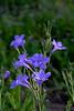 MC Blue Flowers along 105 03