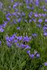 MC Blue Flowers along 105 04
