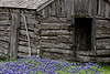 2003 04 Flowers Bluebonnets and old shack at Old Baylor park