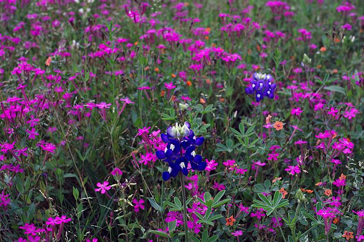 2004/04 Flowers A couple Bluebonnets