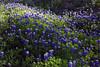2004/03 Flowers Bluebonnet Hill along FM1155 near Chappell Hill