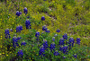 2004/04 Flowers Bluebonnets and Gold