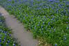 2004/04 Flowers Flatonia bluebonnets