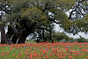 2005/03 Flowers TX paintbrush and live oaks at Old Baylor