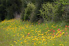 2005/03 Flowers TX Coreopsis and paintbrush along US79