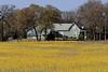 2005/03 Flowers TX Groundsel and farm house along US79