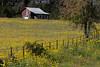 2005/03 Flowers TX Groudsel phlox and shack along US79