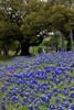 2005/03 Flowers TX Gay Hill bluebonnets