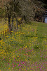 2005/03 Flowers TX Groundsel and Phlox fence row along US79