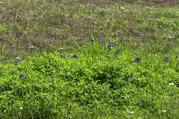 March 1st bluebonnet clump at Old Baylor