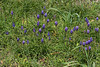 Grape hyacinth growing wild around the historic church and graveyard in Round Top on March 1st.