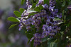 Closeup of March 1st mountain laurel in Round Top