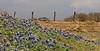 WC 2009 MAR Early bluebonnets along TX 390 (pano crop)