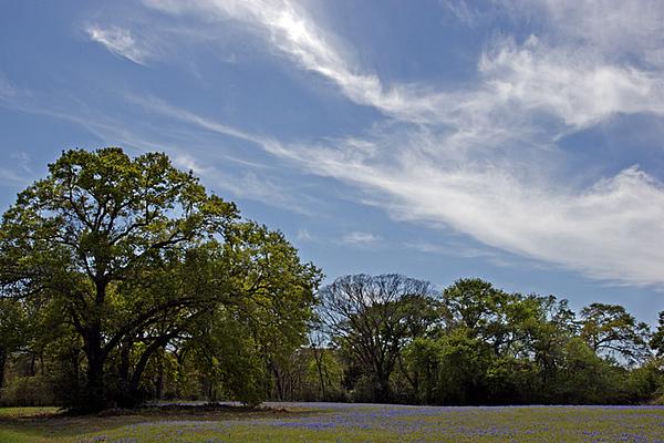 Sand bluebonnets under a blue sky off of FM159 on Jingles Lane near Hempstead, Texas in mid-March