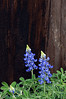 WC 2009 MAR Bluebonnets and fence post on Fleuellen Road