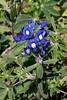 2010 02 27 005 Early Bluebonnet bloom new TX71 US77 in LaGrange Texas