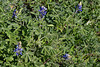 2010 02 27 007 A patch of rosettes and a few early Bluebonnet blooms in LaGrange Texas