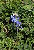 2010 02 27 008 Early Bluebonnet along TX71 in LaGrange Texas