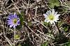 2010 02 27 020 Wind flowers at Old Baylor