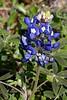 2010 02 27 006 Bluebonnet near TX71 US77 in LaGrange Texas