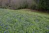 2011 03 16 Flowers Bluebonnets along Branch Crossing