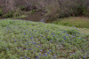 2011 03 16 Flowers Spring bluebonnet hillside along Branch Crossing