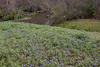 2011 03 16 Flowers Spring bluebonnet hillside along Branch Crossing