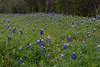 2011 03 16 Flowers Bluebonnets along Terramont