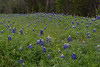 2011 03 16 Flowers Bluebonnets along Terramont