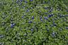 2011 03 16 Flowers Bluebonnet patch along Branch Crossing