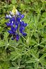 2011 03 16 Flowers A single bluebonnet