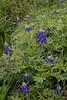 2011 03 16 Flowers Bluebonnet clump along Terramont