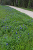 2011 03 16 Flowers Terramont bluebonnet path